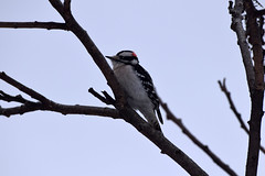 Male Downey Woodpecker (Dryobates pubescens), Credit Valley Conservation, Mississauga On, Canada