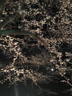 3月26日 矢那川の夜桜