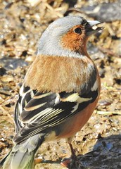 Chaffinch Foraging for Seeds - Thornley Hide