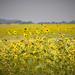 <p><a href=&quot;http://www.flickr.com/people/63895238@N00/&quot;>Lynne Realander Allan</a> posted a photo:</p>&#xA;&#xA;<p><a href=&quot;http://www.flickr.com/photos/63895238@N00/41331613782/&quot; title=&quot;Colorado sunflowers&quot;><img src=&quot;http://farm1.staticflickr.com/813/41331613782_88c2c70a4b_m.jpg&quot; width=&quot;240&quot; height=&quot;159&quot; alt=&quot;Colorado sunflowers&quot; /></a></p>&#xA;&#xA;