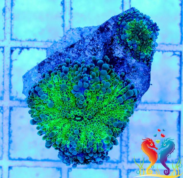 Blue/Green Yuma - WYSIWYG - B