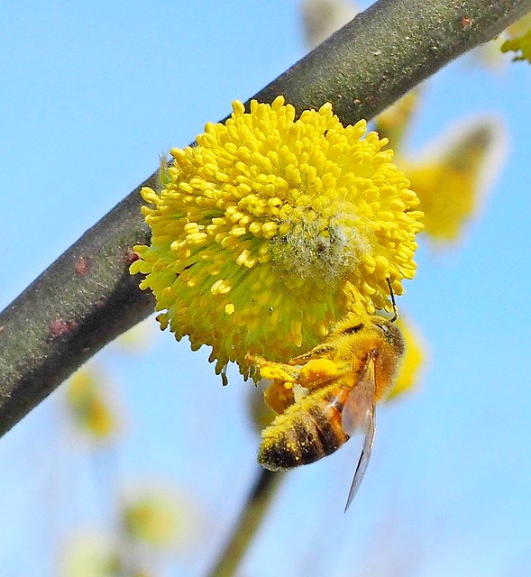 A honey bee collecting pollen on a willow tree.