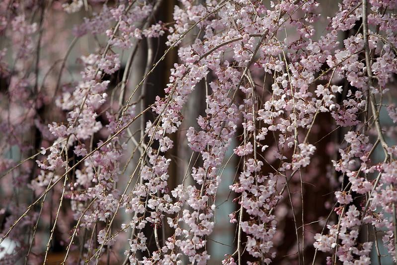 糸桜 慈雲寺