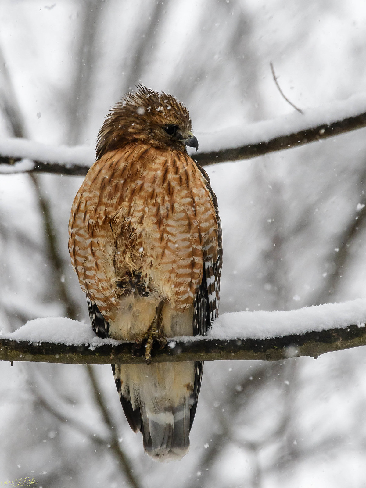 Red Shouldered Hawk in snow Yes Apr 6th snow