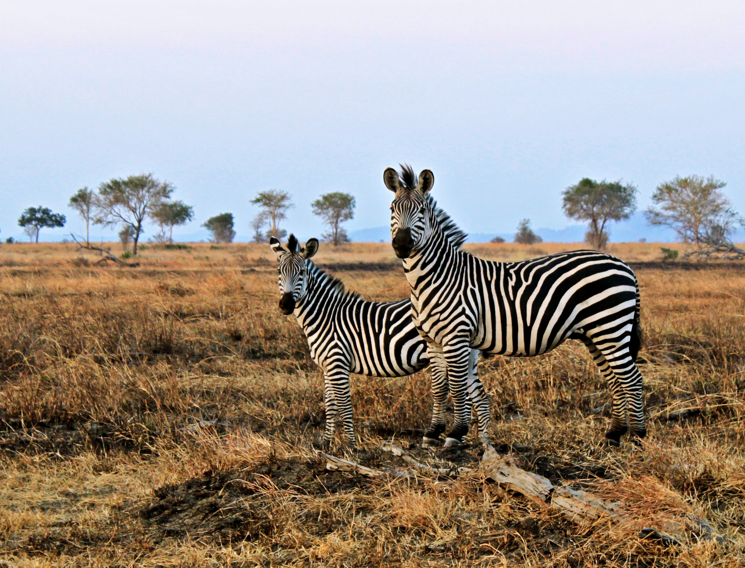 Two zebras in Mikumi National Park. Photo taken on July 18, 2012.