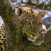 Male Leopard by Hector16