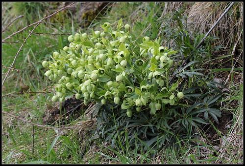 Helleborus foetidus - ellébore fétide - Page 2 27543241548_d6000289ca