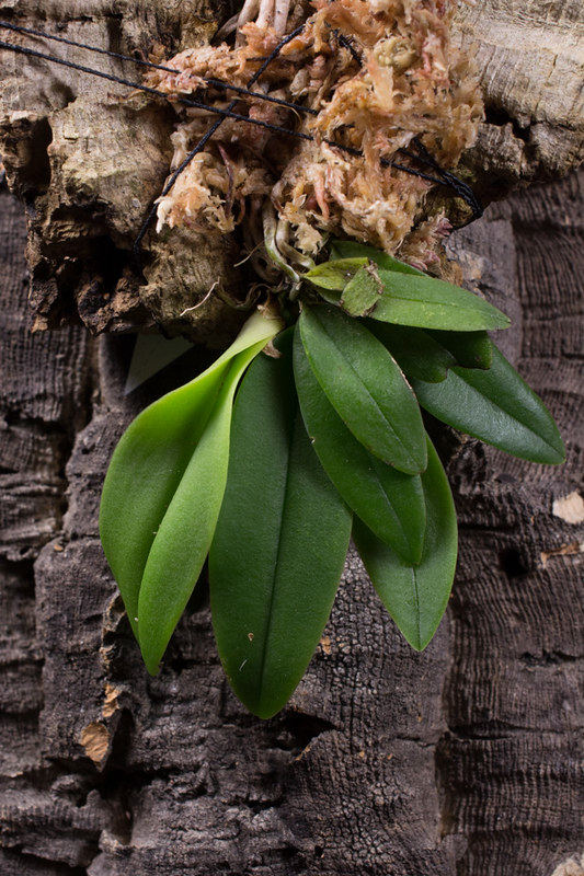 Orchideen-Neuzugang 2 39183308000_b21846575e_c