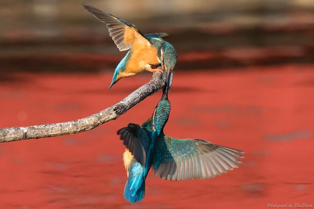 20180331-kingfisher-DSC_0764