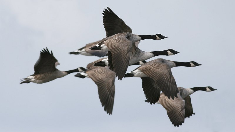 A plump of Canada geese (Branta canadensis) flying in formation. Photo taken on December 13, 2010.