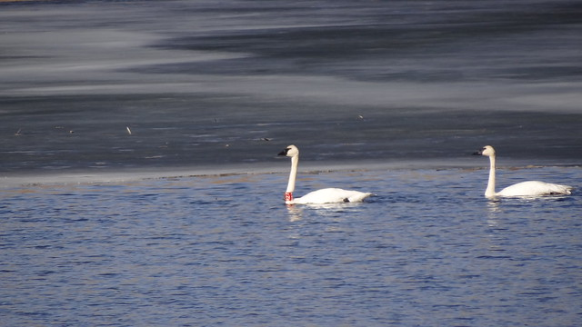 banded swans