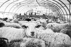 Bonnieview Shearing Day_0166