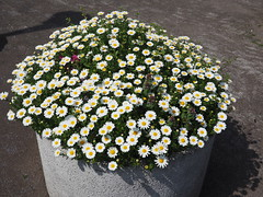 flowers at Sumida river