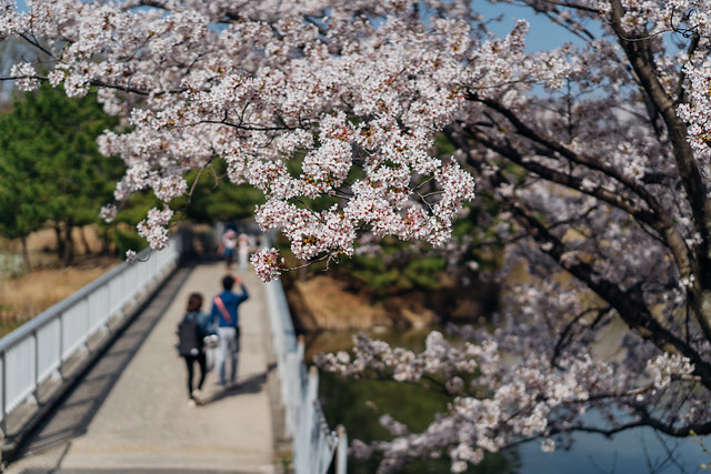 CherryBlossoms_211