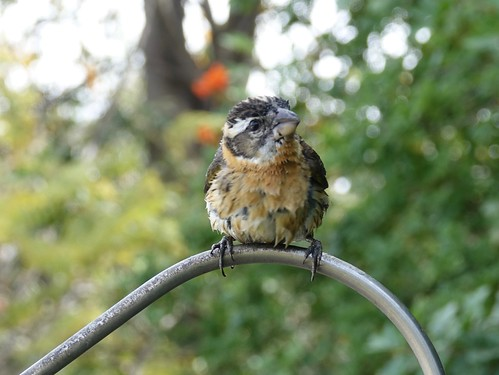Wet Black-headed grosbeak