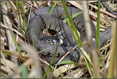 HolderGrass Snake (image 1 of 3)
