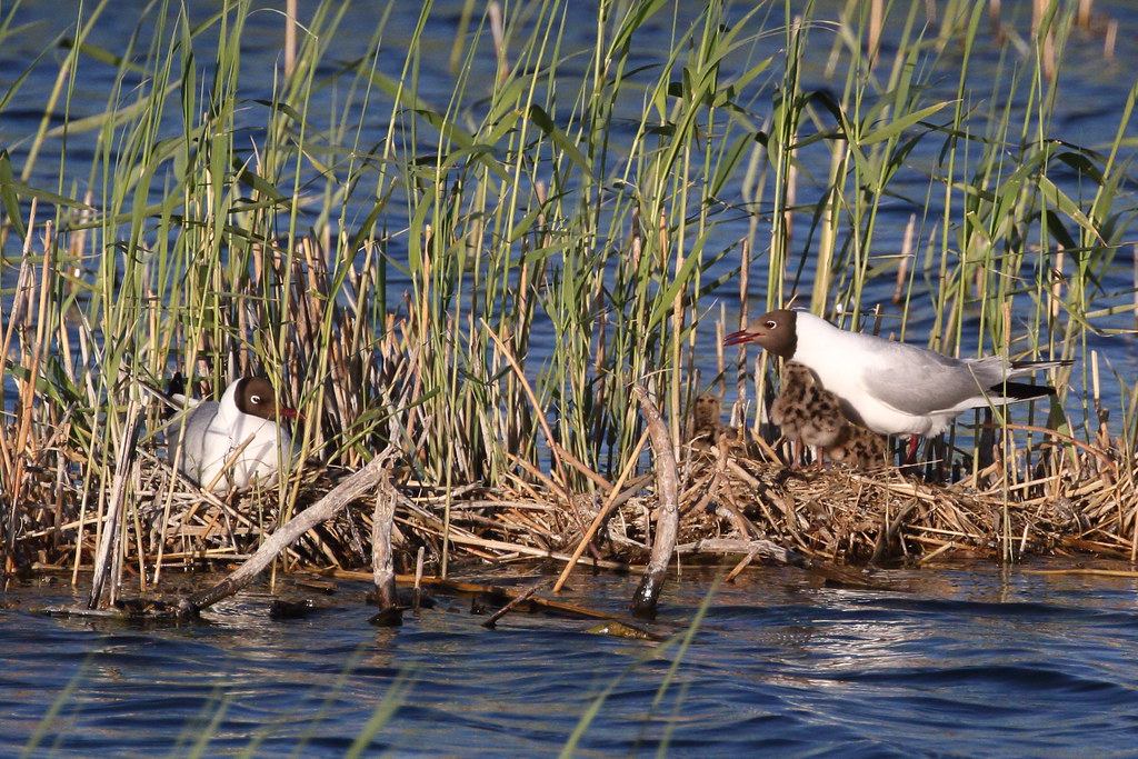 Colony of Black-headed Gulls