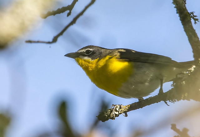 Yellow-breasted Chat (116)