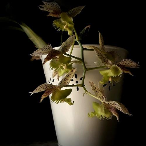 Orchid, Orquídea