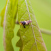 Small photo of Myopa sp.