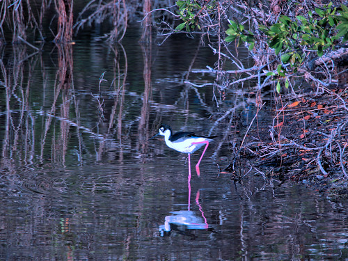 Black-necked Stilt 06-20180403