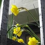 Charles Dickens 的形象. london spring daffodils yellow flowers raindrops rain charlesdickens dickens doughtystreet house dickenshouse museum bloomsbury wc1