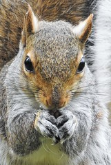 Grey Squirrel - Head-On Portrait