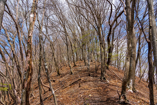有間稜線・・・木々は若い