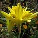 Daffodil:  76/365