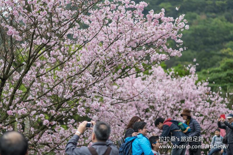 新北淡水天元宮,環繞天壇盛開的朵朵櫻花,綴成一片迷人的粉紅,一同走入其中,來場與吉野櫻的浪漫約會