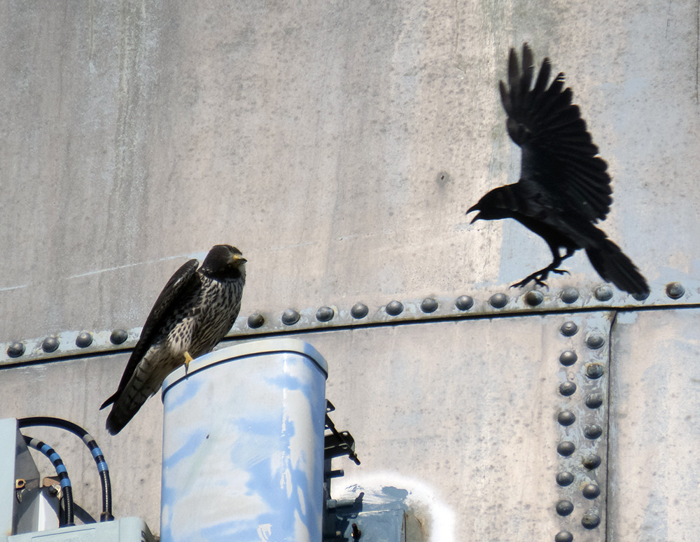 Juvy Peregrine vs Fish Crow