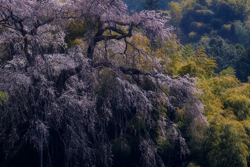 An old cherry blossom