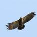 Lesser-spotted Eagle (peter csonka)