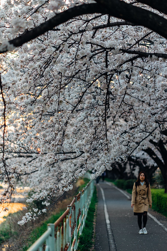 CherryBlossoms_45
