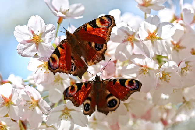 Cherry Blossom and Butterflies