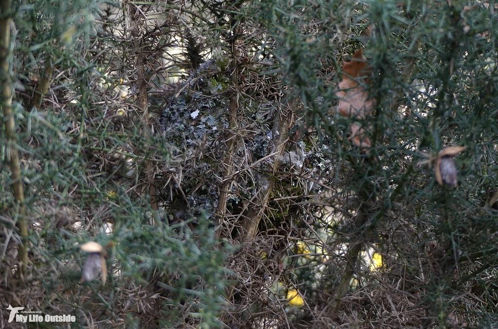 P1140121 - Long-tailed Tit nest