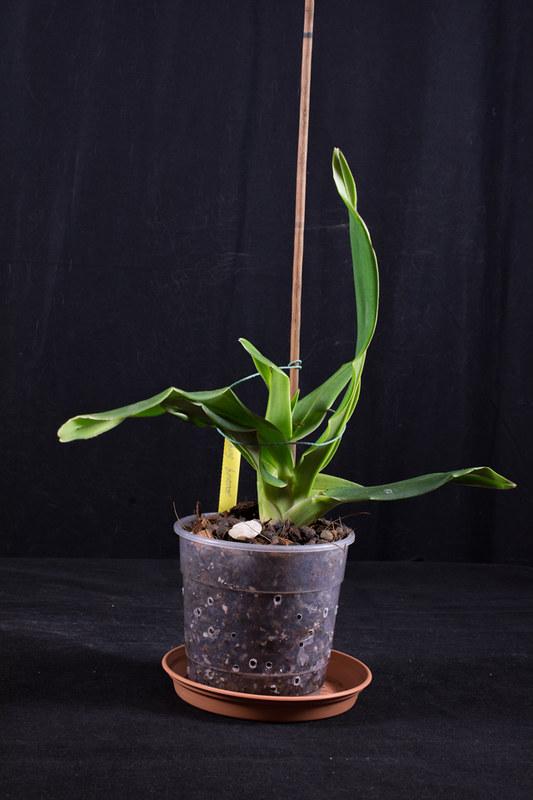 Orchideen-Neuzugang 2 39183297100_86ce29c9e2_c
