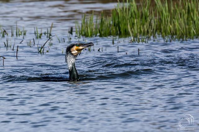 Corvo-marinho-de-faces-brancas (Phalacrocorax carbo)