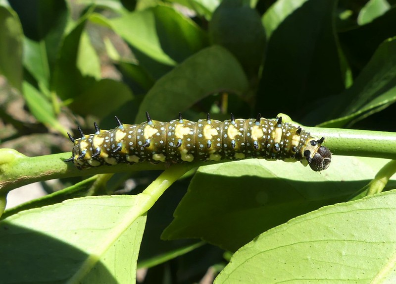 Dingy Swallowtail larvae matured