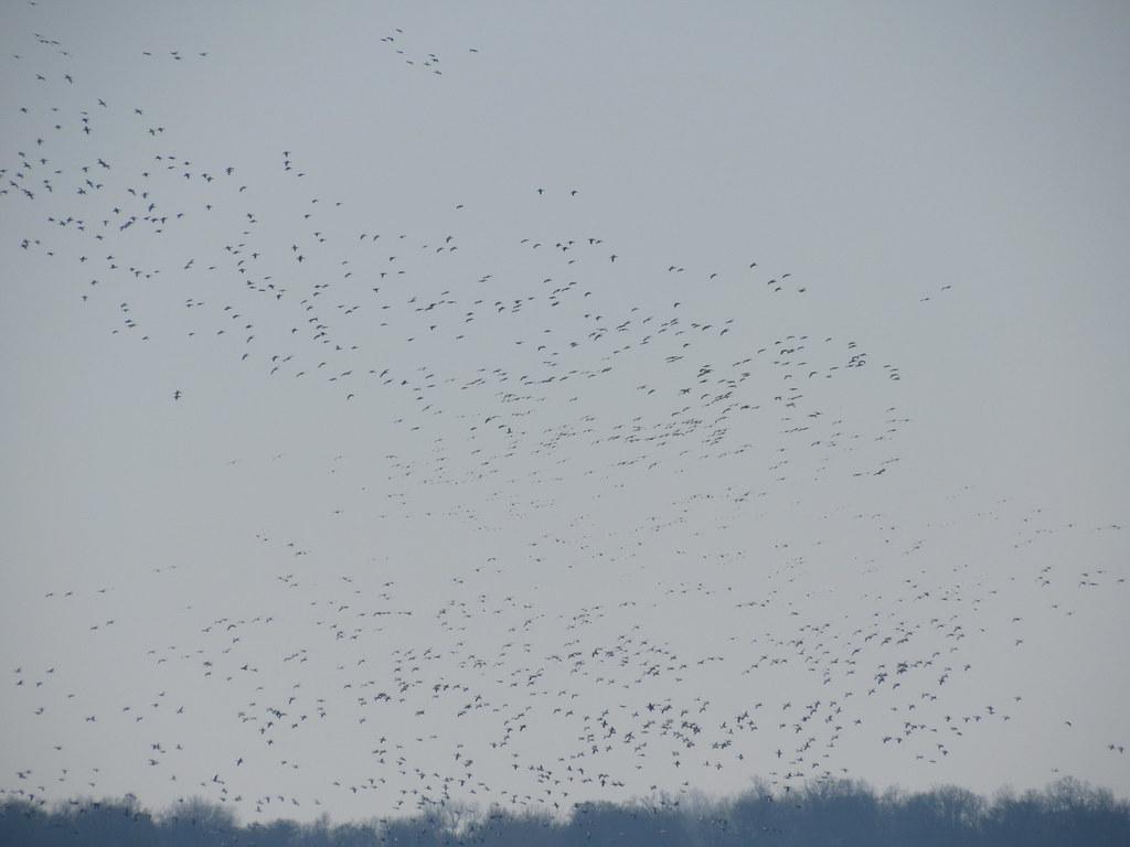 Snow Goose Flocks Landing
