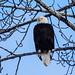 Bald Eagle (Haleaeetus leucocephalus)