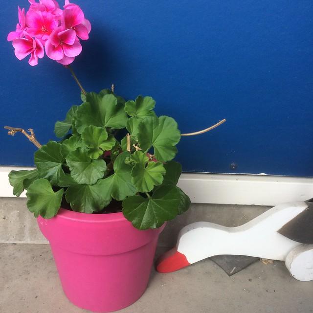 Roze geranium