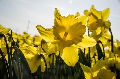 Skagit Daffodils-7