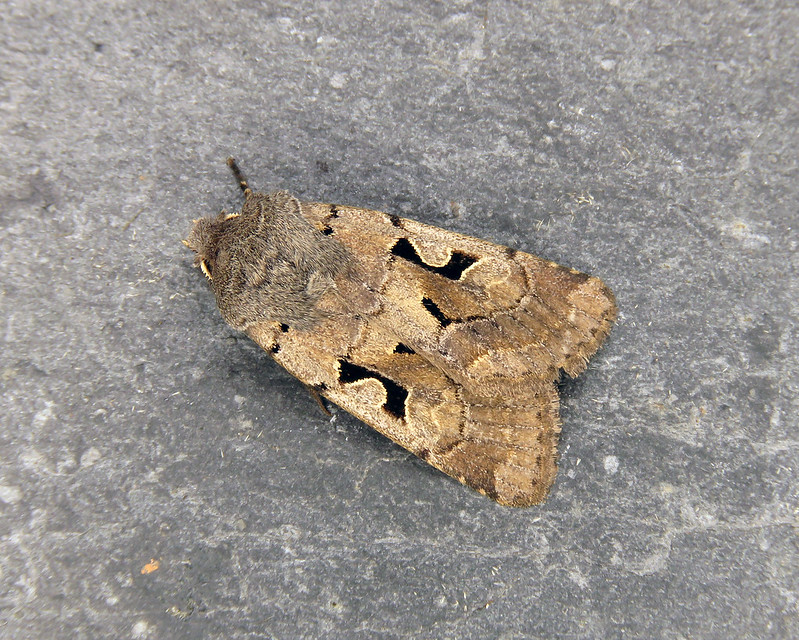 73.249 Hebrew Character - Orthosia gothica