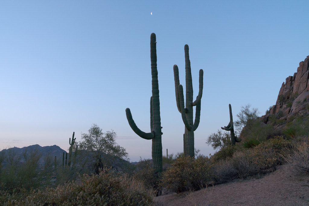 Saguaro cacti reach into the sky at dawn at Pinnacle Peak Park in Scottsdale, Arizona