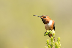 DSC_8252.jpg Allen's Hummingbird, UCSC Arboretum
