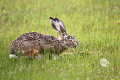 Granada Hare