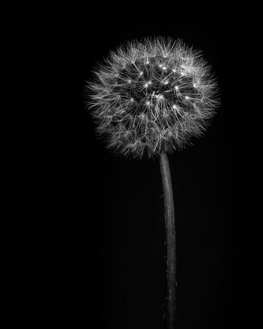 Dandelion Fine Art