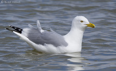 A herring gull floating along on a windy day.