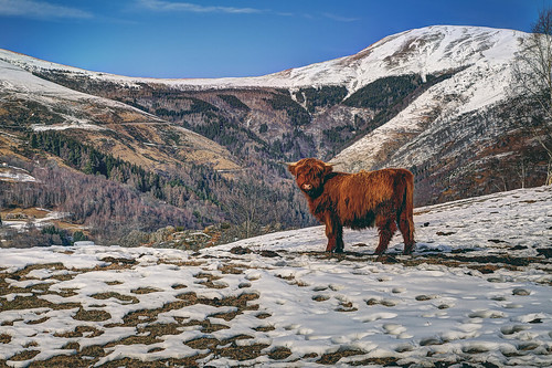 An highlander cattle staring at camera in the swiss alpine foothills